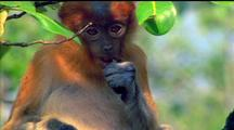 Proboscis Monkey Eating Piece Of Fruit