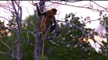 Proboscis Monkey Mother And Child On Lookout From Branches