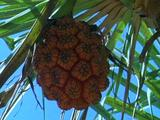 Palm Nut Fruit Hanging From Frond