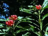 Half Open Red Waratah Flowers In Lush Bush