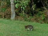 Red Necked Wallaby Grazing On Grass