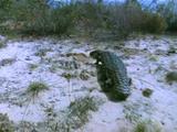 Shingleback Lizard Walking In Desert Scrub
