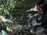 Great Crested Grebe With Chick, Chick Falls Off Adult And Struggles To Return, Gets No Help From Adult
