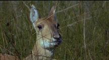 Mongolian Gazelle Looking Alert