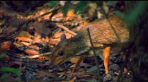 Lesser Mouse Deer Eating In Undergrowth