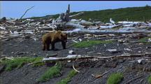 Brown Bear L - R Across Driftwood