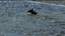 Brown Bear Wading Through Big School Of Flapping Fish