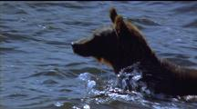Brown Bear Fishing, Wading, Jumping