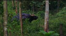 Water Buffalo Standing In Trees