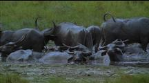 Water Buffalo Wallow In Muddy Water