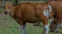 Femaile Banteng (Wild Cattle) Grazing