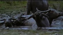 Water Buffalo Herd Wallowing, Ears Flapping