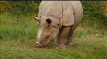 Indian Rhino Grazing