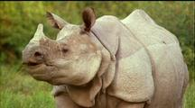 Indian Rhino Chewing With Fat Lips, Flaps Ears