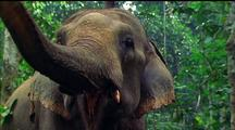 Asian Elephant Raises Trunk, Shows Camera Mouth And Tusk
