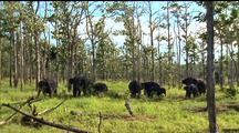 Asian Elephant Herd In Woods, Trunks Swinging