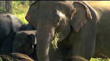 Asian Elephants Eating, Adult In F/G