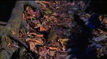 Spectral Tarsier In Leaf Litter At Base Of Tree