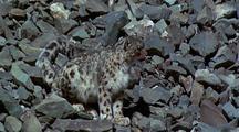 Snow Leopard Sitting On Rocky Slope