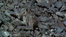 Snow Leopard Rests On Rocks, Watching