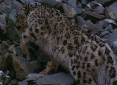 Snow Leopard Climbs Up Rocks Away From Camera