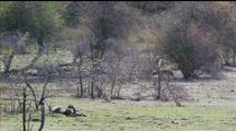 Golden Jackals Trotting Across Field Toward Trees