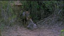 Golden Jackals Nuzzle Eachother, One Leaves