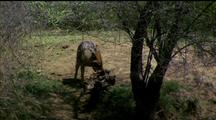 Golden Jackal With A Carcass Much Bigger Than He, Tries To Drag It Off