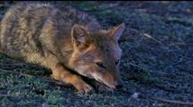Golden Jackal, Resting With Chin On Paws. Eyes Closing