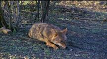 Golden Jackal Sleeping, Chin On Paws