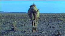 Bactrian Camel Walks Away From Camera, Another Passes Thru Frame, A Third Stops In Front Of Camera