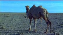 Raggedy Bactrian Camel Walks Away From Camera, Mother & Calf Walk Thru Frame
