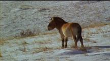 Prezwalski Horse Walking Away, Stops