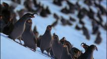 Crested Auklets Colony Flapping On Snowy Slope