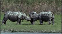 Three Asian Rhinos Nose To Nose