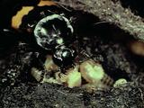 Scottish Burying Beetle With Squirming Larvae In Burrow