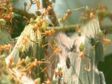 Sun Shines On Weaver Ants Working On Eucalyptus Leaf Nest