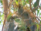 Suspended Eucalypt Leaf Weaver Ant Nest; Covered With Ants Sways In Branches