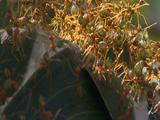 Weaver Ants Stand Upright On Edge Of Nest And On Eachother