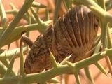 Bcu Nara Cricket (Acanthoproctus Diadematus), Crawling Around In Spiny Bush