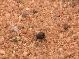 Dung Beetle Runs Across Gravelly Sand Toward Grass, Starts Burrowing
