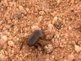 Dung Beetle Walking Across Sand, Kicks Back Legs Out In Gravel