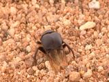 Dung Beetle Walking Across Sand, Spreads Wings And Flies Off