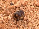 Dung Beetle Walking Across Sand, Wing Cases Open, Take-Off, Flies Away