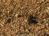 Dung Beetle Burrowing Into Gravel