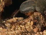 Dung Beetle Taking Dung Ball Into Burrow