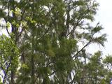 Droopy Trees In Everglades Swamp, Seen From Boat