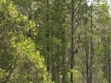 Tall Trees In Everglades Swamp