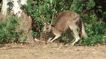 Eastern Grey Kangaroo Moving Slowly Across Grass,
