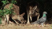 Eastern Grey Kangaroo Foraging, Eating Grass (Pigeon Walks By Briefly)